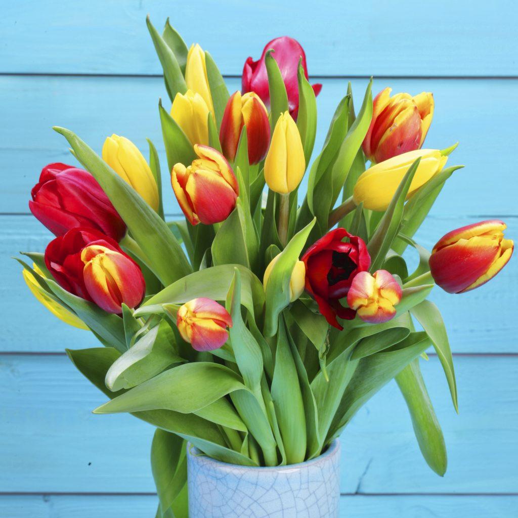 white tulips in glass vase of spotlight on tulips jungle world within bunch od red and yellow tulips with blue background